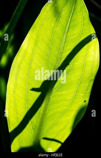 Brown Anole Shadow - Green Cay Wetlands, Boynton Beach, Florida, USA - Stock Image