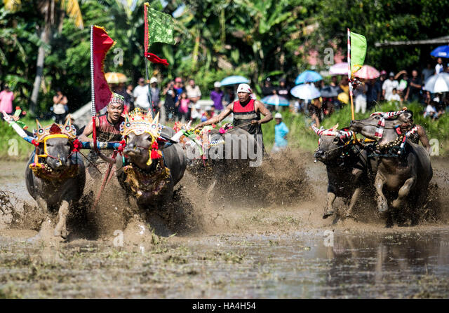 Bali, Indonesia. 27th Nov, 2016. A participant spurs the buffalo during 'Makepung Lampit' or bull race with - Stock Image