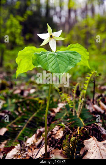 White Trillium - Holmes Educational State Forest, Hendersonville, North Carolina, USA - Stock Image
