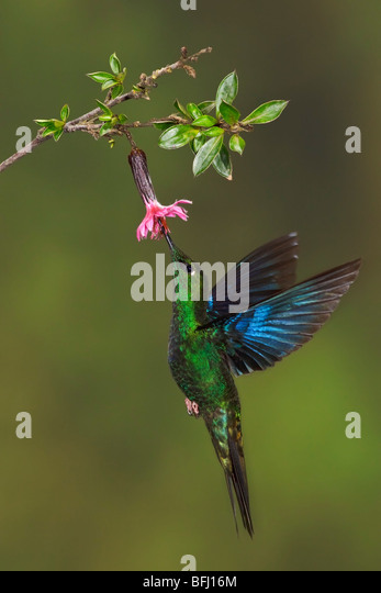 Great Saphirewing (Pterophanes cyanopterus) flying and feeding at a flower at the Yanacocha reserve near Quito, - Stock Image