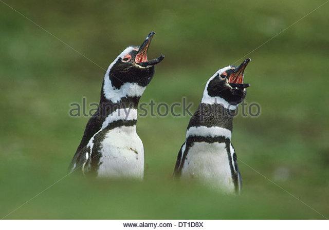 Falkland Islands South Atlantic islands Magellanic penguins call Spheniscus magellanicus - Stock Image
