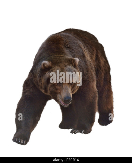 Watercolor Digital Painting Of Grizzly Bear Isolated On White Background - Stock-Bilder