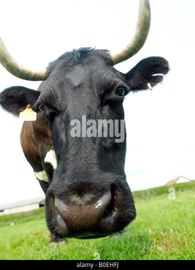 cow head close and wide - Stock Image