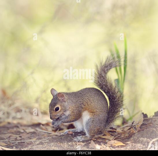 Grey Squirrel Feeding in Florida Wetlands - Stock Image