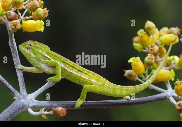Jeweled Chameleon (Furcifer lateralis) in the Anja Reserve, Madagascar - Stock Image