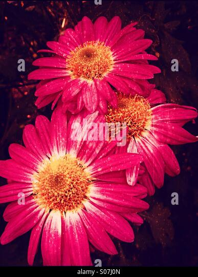 Close up of chrysanthemums - Stock Image