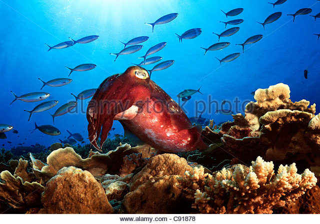 Cuttlefish (Sepia sp), Papua New Guinea - Stock Image