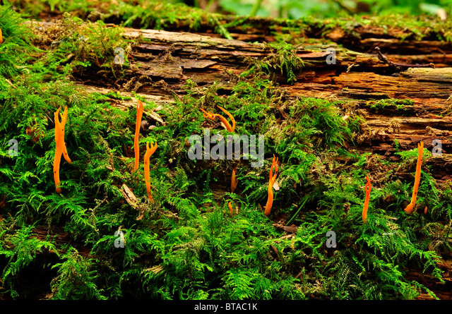 Yellow Stagshorn fungus in Putteridge Bury, Luton, England - Stock Image