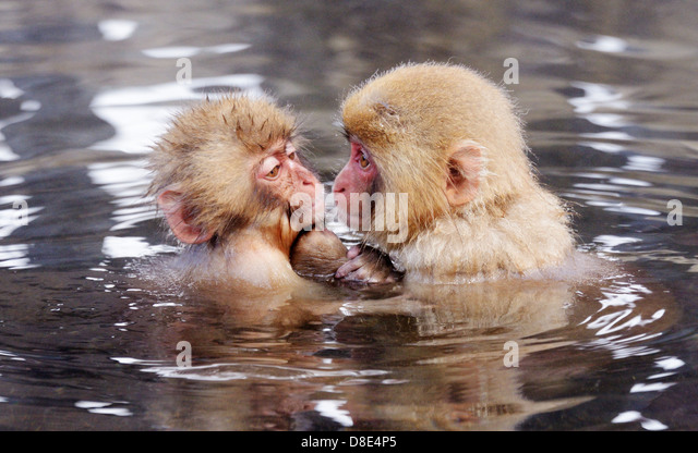 Japanese Snow Monkeys (macaques) in Nagano, Japan. - Stock Image