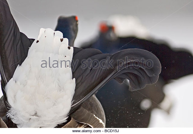 BLACK GROUSE (Tetrao tetrix) males displaying at lek. Finland. April. - Stock-Bilder