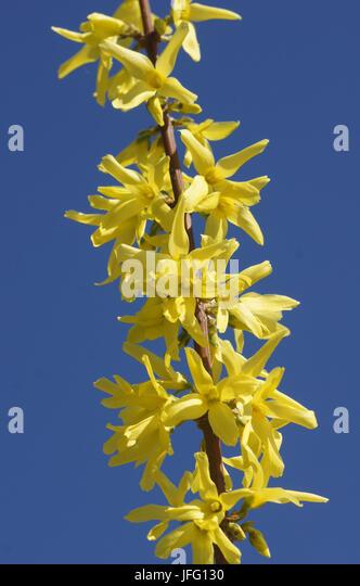 Forsythia x intermedia - Stock Image