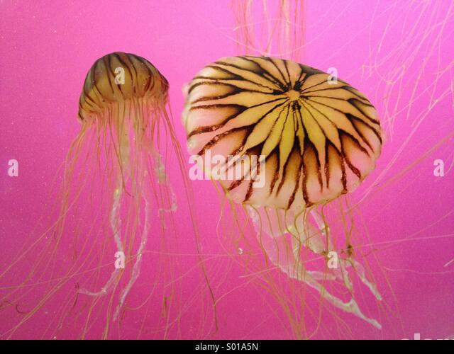 Jellyfish swimming in a display tank with a pink light - Stock Image