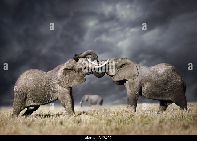 Elephants fighting against stormy sky Masai Mara Kenya - Stock-Bilder