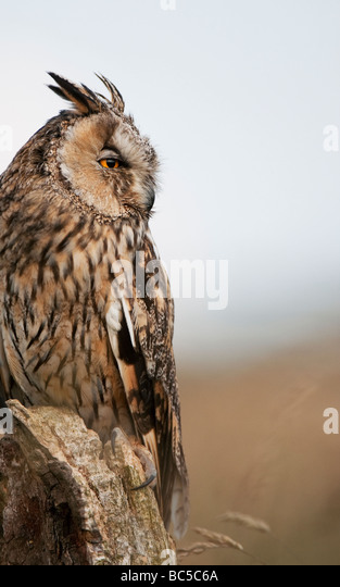 Long eared owl, Asio otus, on a old tree stump in the english countryside - Stock-Bilder