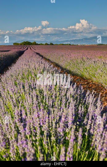 Lavender field in France, Provence - Stock Image