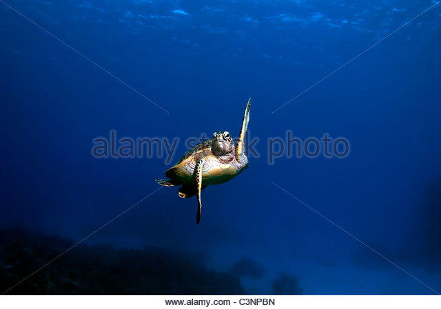 Green Seaturtle Great Barrier Reef Australia - Stock Image