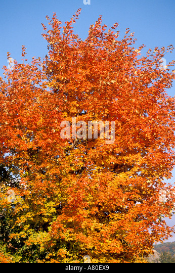 Fall autumn color trees leaves - Stock Image