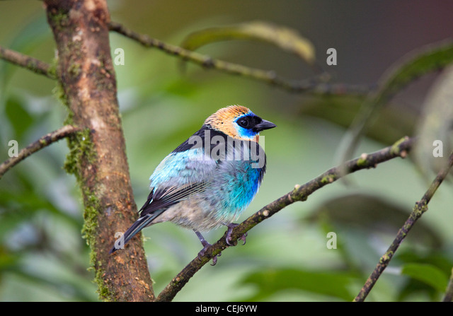Golden-hooded Tanager Tangara larvata near San Jose, Costa Rica 7 November Adult Thraupidae - Stock-Bilder