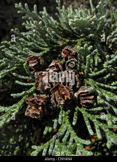 Lawson cypress, Port Orford cedar (Chamaecyparis lawsoniana), cones on a branch - Stock Image
