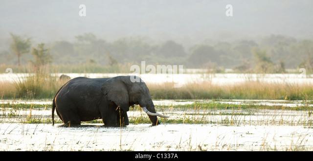African Bush Elephant (Loxodonta africana) walking in water Mana Pools National Park, Zimbabwe - Stock Image