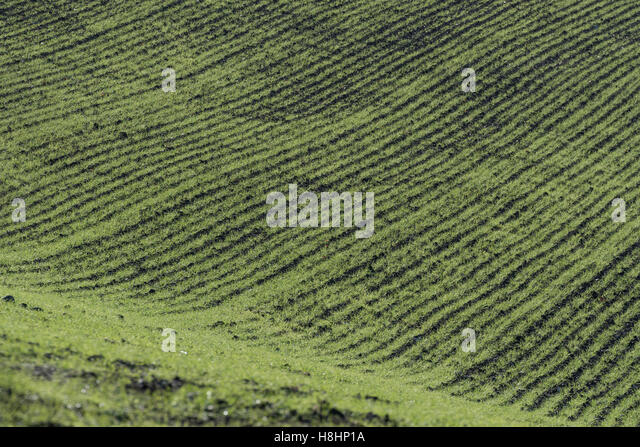 Early winter wheat [Triticum aestivum] crop growth - seen in autumnal sunshine. - Stock Image