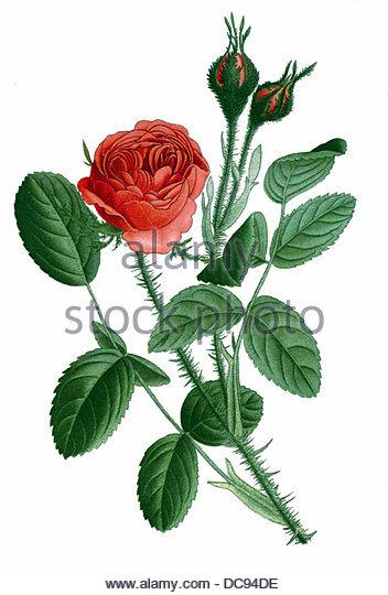 moss rose - Stock-Bilder