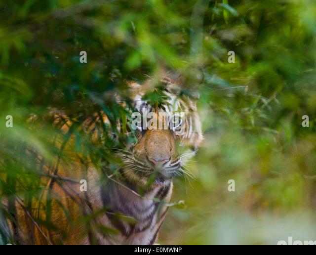 Indian tiger, Bandhavgarh National Park, India (Panthera tigris) - Stock Image