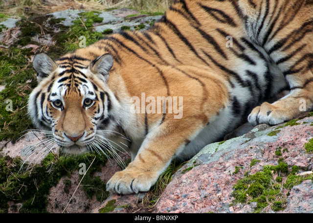 Female Amur (Siberian) tiger on rocks looking at camera - Stock Image