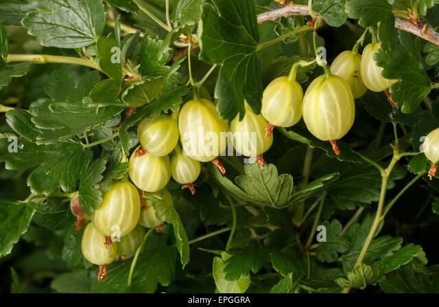 gooseberry - Stock Image