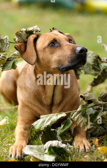 Mixed-breed Rhodesian Ridgeback lying under a branch with withered leaves - Stock Image