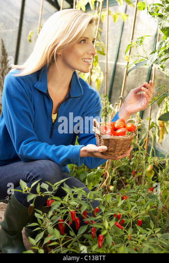 Young woman harvesting tomatoes - Stock Image
