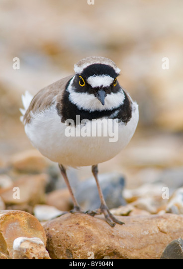 Little Ringed Plover - Stock Image