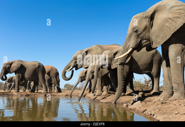 African elephant (Loxodonta africana) small group of elephants drinking at a waterhole in Mashatu game reserve.Botswana - Stock Image