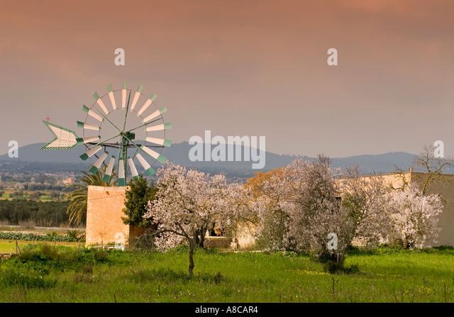 Mallorca windmill almond blossom - Stock Image