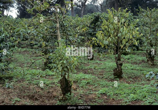 Coffee bushes severely weaked by fusarium bark disease (Fusarium sp.), Kenya - Stock Image