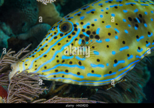 Iridescent blue lines mark the face and body of a Scrawled filefish. - Stock-Bilder