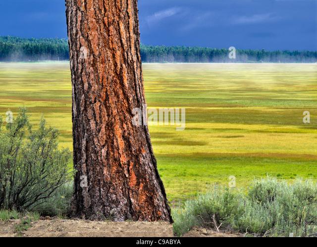 Ponderosa Pine tree and Klamath Marsh National Wildlife Refuge, Oregon. - Stock-Bilder