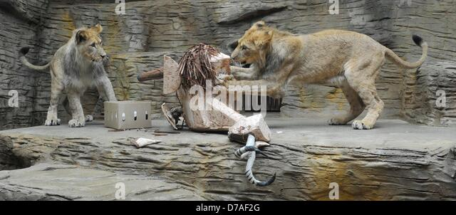 Olomouc, Czech Republic. 2nd May 2013. Cubs of Barbary lion named Napoleon and Bart celebrate their first birthday - Stock-Bilder