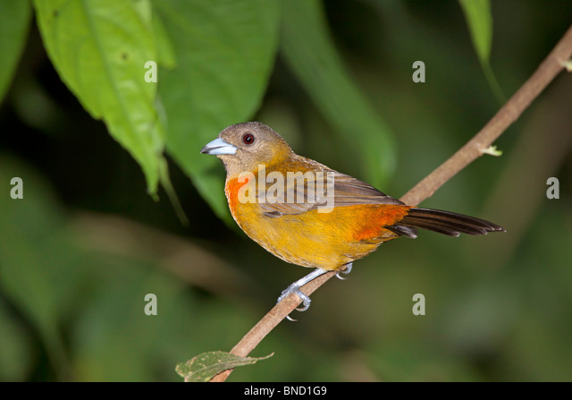 Cherrie's Tanager Adult Female Endemic to Costa Rica and Panama. - Stock-Bilder