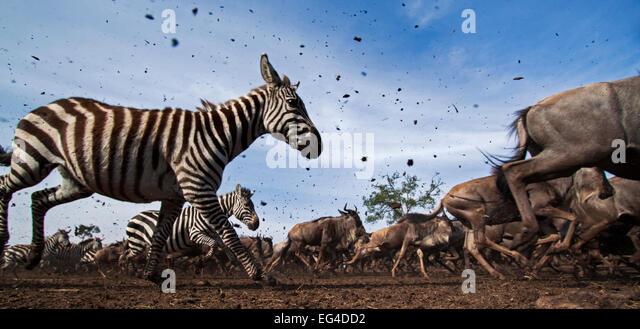 Common or plains zebra (Equus quagga burchelli) Eastern white-bearded wildebeest (Connochaetes taurinus) mixed herd - Stock Image