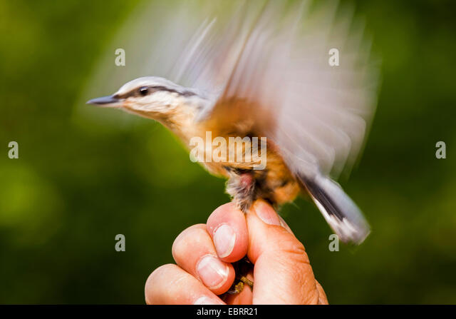 Eurasian nuthatch (Sitta europaea), nuthatch caught for banding hold in the hand of an ornithologist, flapping wings, - Stock Image