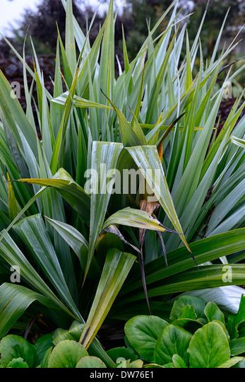 Green ornamental grasses perennials stock photos green for Green ornamental grass