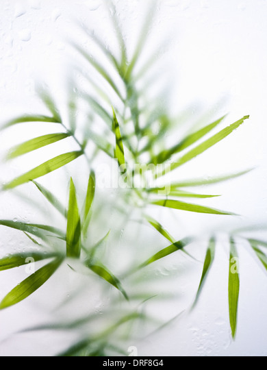 Maryland USA Still life fresh green strap leaves house plant - Stock Image
