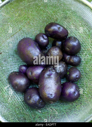 just picked and washed purple potatoes in colander - Stock Image
