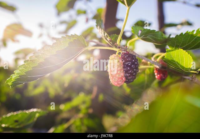 Black Mulberry on branch with sun ray or Morus nigra. Closeup - Stock Image
