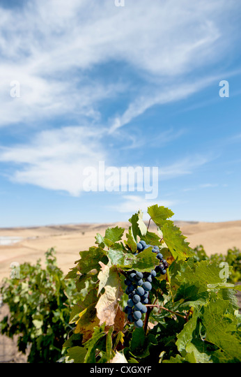 Öküzgözü (Ochsenauge) grapes at the Ankara vineyard of the Turkish wine producer Kavaklidere - Stock Image