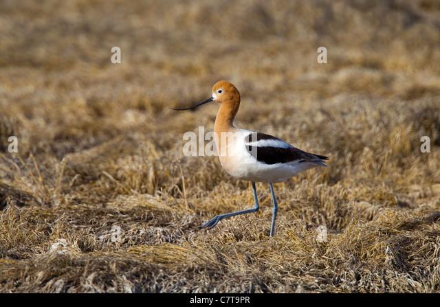 American Avocet Recurvirostra americana Klamath Falls, Oregon, United States 9 May Adult female in breeding plumage. - Stock-Bilder