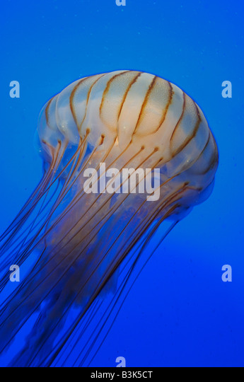 Pacific sea nettle Chrysaora melanaster captive - Stock Image
