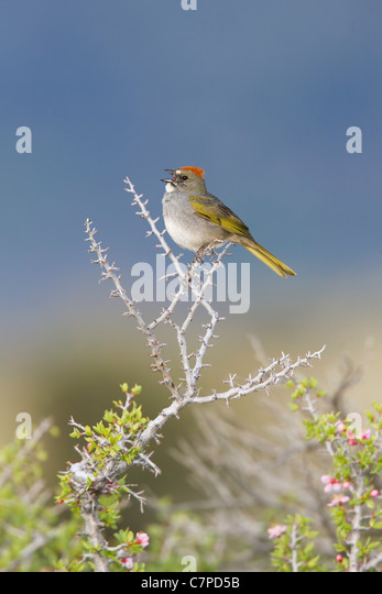 Green-tailed Towhee Pipilo chlorurus Mono Lake, California, United States 14 May Adult singing. Emberizidae - Stock Image