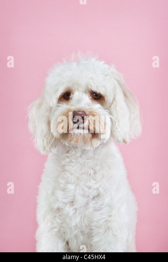 Fluffy white Maltese dog on a pink studio background. - Stock Image